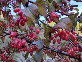 中药材山茱萸树苗、枣皮树苗、药枣树苗、山萸肉树苗
