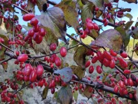 中藥材山茱萸樹苗、棗皮樹苗、藥棗樹苗、山萸肉樹苗