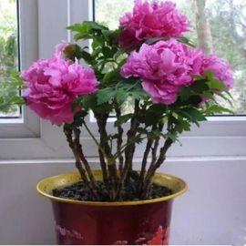 大王牡丹花带芽发货盆栽多分枝5年洛阳花卉植物室内庭院阳台四季