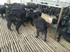 黑山羊羊苗 纯种黑山羊 黑山羊价格 黑山羊养殖场