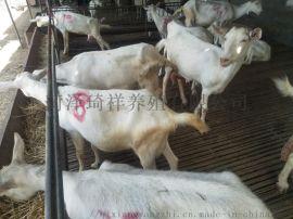 奶山羊,纯种奶山羊,奶山羊厂家
