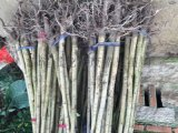 供应私生嫁接橄榄苗,量大优惠