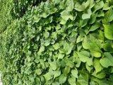 商薯19脱毒红薯苗大量供应