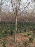 基地常年直销米径2公分至20公分优质垂柳
