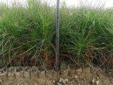 溼地松幼苗價格--湖北旭森農業溼地松基地