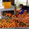 新款自动柑橘洗果机