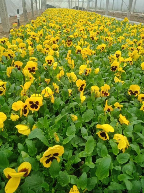 冬季耐寒草花三色堇,三色堇批发,河北冬季草花三色堇