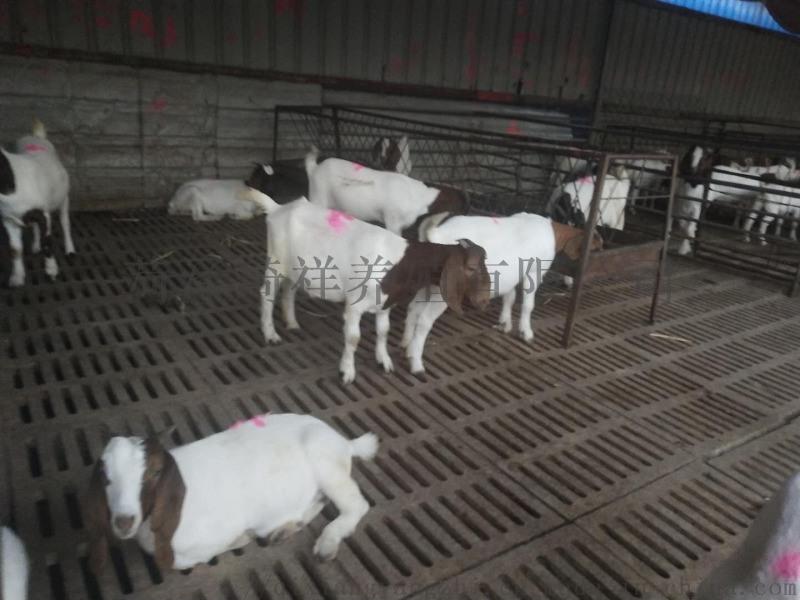 波尔山羊,纯种波尔山羊,波尔山羊厂家