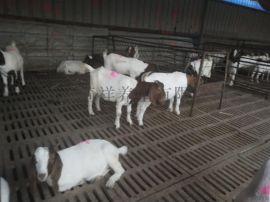 波尔山羊,纯种波尔山羊