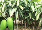 供應芒果苗,黃金芒等大小規格均勻