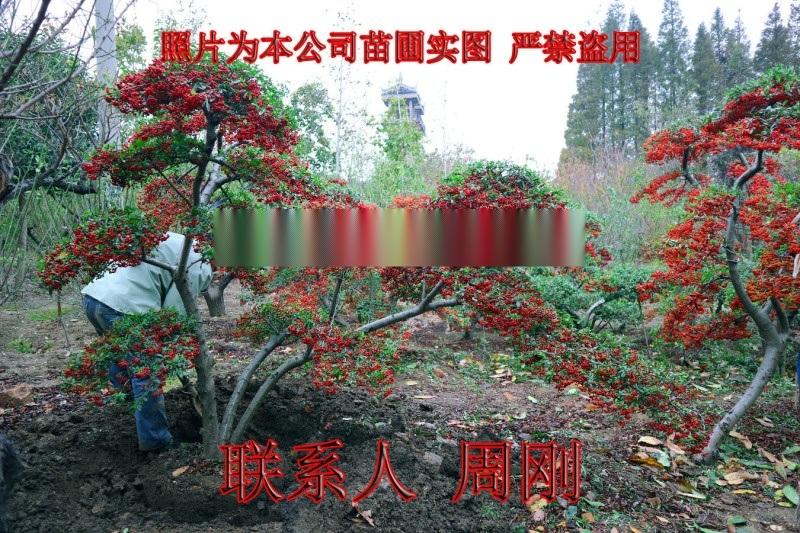 苏州造型火棘 造型红果基地 火棘盆景 庭院景观树