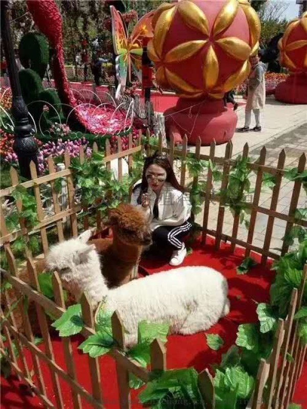 羊驼 购买羊驼价格 羊驼养殖场 萌宠羊驼出租