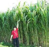 皇竹草種子 牧草種子 優質牧草 新型皇竹草種苗 高產皇竹草種