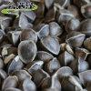 雲南辣木籽的味道代表什麼症狀
