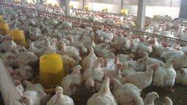 肉鸡粪里有未消化的**颗粒/益生菌促进消化防治过料