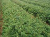 速生杉树苗价格广西杉树苗哪里批发供应?