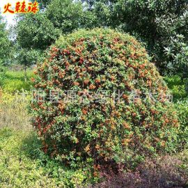 供应绿化工程苗木火棘球 火棘球小苗 园林观赏庭院风景树量大优惠