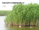 湿地绿化芦苇苗种植  芦苇种苗种植批发公司
