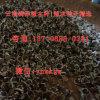 雲南滿澤保山辣木籽種植基地 種植食用 育苗辣木苗