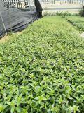满天星高度18厘米 雪茄花园艺地被绿植供应