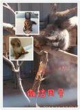 宠物松鼠哪里有卖松鼠松鼠养殖场大量供应