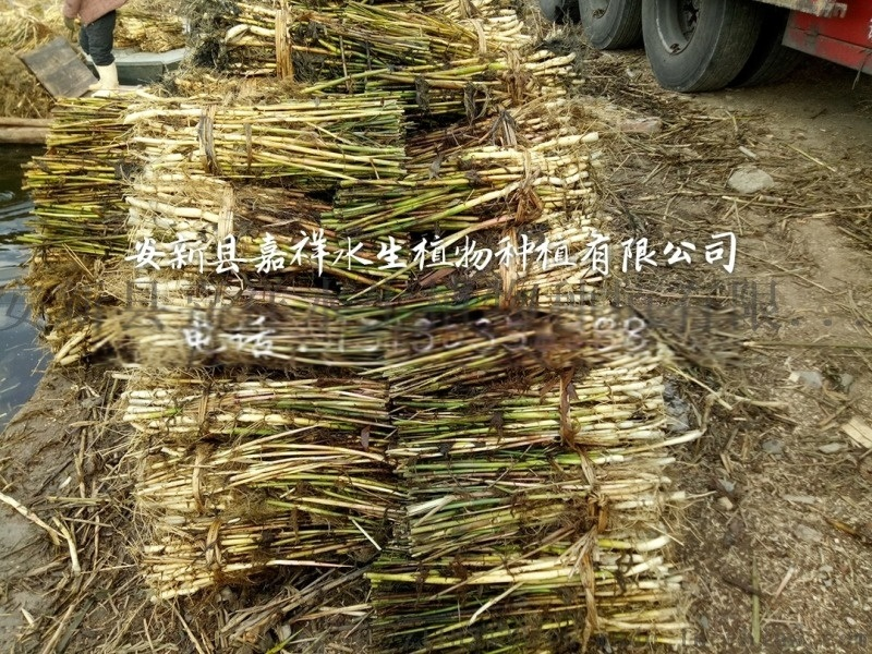 浙江芦苇苗、浙江芦苇种苗浙江芦苇种植