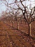 今年10公分柿子树 基地12公分柿子树单价多少钱