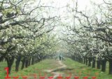 4公分梨树、5公分梨树
