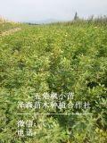 山西五角枫小苗=地径0.5/0.8/五角枫小苗