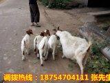 波尔山羊供应 山羊养殖