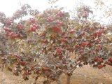 急售5公分山楂樹·8公分山楂樹緊急價格·緊急佔地5-8公分山楂樹