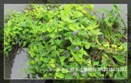 广东那里有水生植物苗场