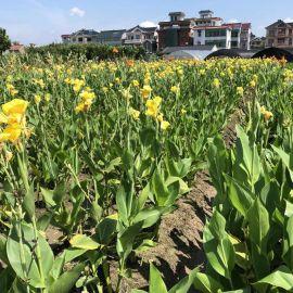 黄花美人蕉花卉水生美人蕉种根水生植物湿地植物庭院风景基地批发