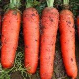 散装胡萝卜种子 优质黄蔬菜萝卜非转基因番萝卜批发 红胡萝卜种子