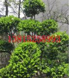 苏州别墅庭院绿化、别墅庭院设计、苏州别墅庭院景观绿化、别墅果树造型树,苏州造型树