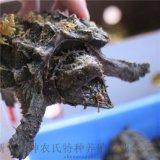 大鱷龜 北美刺鱷龜 觀賞龜大鱷龜寵物活體 背甲8~10釐米
