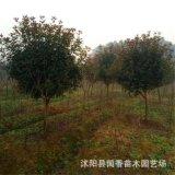 沭陽高杆紅葉石楠樹價格綠化工程行道樹風景樹