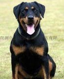 深圳宠物训练深圳训犬罗威纳犬训练免费接送