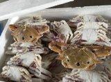 批發冷凍野生三點蟹