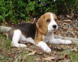 哪裏買薩摩耶犬 成都薩摩耶犬價格 哪有薩摩耶犬賣 貝琪尼供
