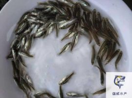加州鱸魚苗批發價格淡水鱸魚苗出售鱸魚苗養殖基地