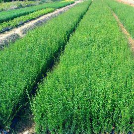批发小叶女贞篱 园林造型树小苗 工程绿化苗木 常绿灌木风景盆栽