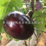 供应嫁接茄子苗 长茄苗 圆茄苗 蔬菜种子种苗