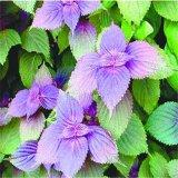 专业厂家生产红紫苏叶油 紫苏油