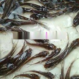 广东茂名斑点叉尾鮰鱼苗养殖基地叉尾鱼苗出售鮰鱼苗批发