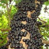 嘉宝果树苗葡萄苗木 奶果树四季水果盆栽 南北方当年结果庭院种植