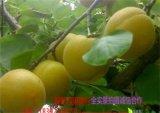 陕西凯特杏价格金寿杏,油桃价格毛桃