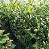 新品种蓝莓苗批发 盆栽蓝莓多少钱