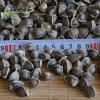 云南辣木籽的味道代表什么症状