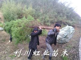 柳杉/米徑8公分柳杉綠化苗工程苗